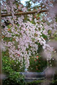 桜2019!~西仰寺~ - Prado Photography!