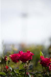 バラが咲き始めて - ことのは