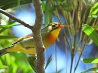 ソウシチョウ - 江戸さんの野鳥撮り