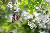 ミツバウツギにきたチョウたち - 旅のかほり