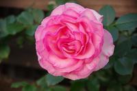 ピエール・ド・ロンサールが咲き出したマイガーデン - 季節の風を追いかけて