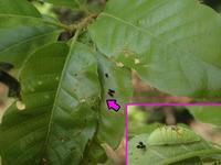 ウラナミアカシジミの幼虫 - 秩父の蝶