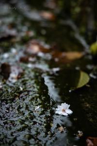 桜の面影♪ - Lovely Poodle