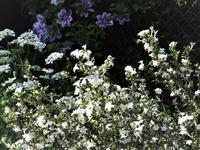 斑入り白丁花 - だんご虫の花