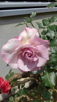 ライラックビューティ開花 - うちの庭の備忘録 green's garden