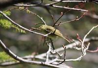 高山のムシクイ - 鳥見って・・・大人のポケモン