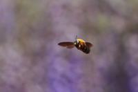 花よりクマバチ(3)・・・出来るだけ正面顔をと思うけど・・・ - 『私のデジタル写真眼』