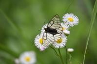 ウスバシロチョウ5月12日 - 超蝶