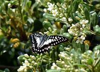 ミカドアゲハ5月12日 - 超蝶