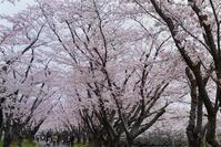 さくらサクラ桜(戸田記念公園) - お茶にしませんか2