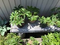 日陰作り - リリ子の一坪ガーデン
