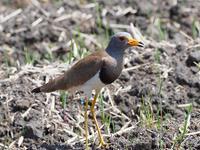 田んぼの野鳥:ケリ - 模糊の旅人