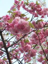 軽井沢の桜速報・2019 * ⑥5月10日満開の桜&ヤマナシ - ぴきょログ~軽井沢でぐーたら生活~