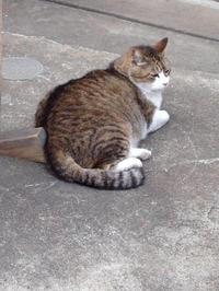 行方不明の地域猫を探しています(2019.5.12) - きよせ猫耳の会(旧 飼い主のいない猫を考える会)