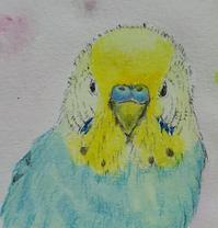 顔4連続 その1 - Blue & Yellow Budgie