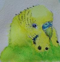 顔4連続 その2 - Blue & Yellow Budgie