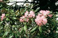 神社の石楠花と蜜を吸う蜂 - 照片画廊