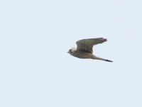 橋脚で営巣するチョウゲンボウ - コーヒー党の野鳥と自然 パート2