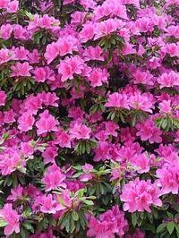 近所の花🌼花と令和記念 - プリプエママのHAPPYな一日