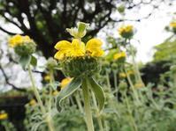 ユニークな花姿のエルサレムセージ - 神戸布引ハーブ園 ハーブガイド ハーブ花ごよみ