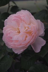 ピンクのころんころん - お散歩日和ときどきお昼寝