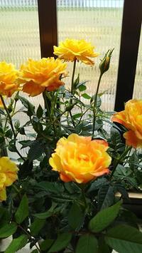 お買い得🎵 - 箱庭の小さな薔薇の記録