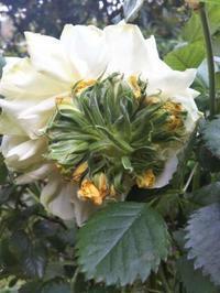 花の中から蕾!~ 慣性花~ - 薔薇のガーデナー Weekend's+Ladybirds