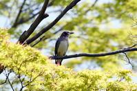コムクドリを撮りに - 私の鳥撮り散歩