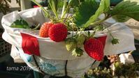イチゴの季節♪ - たまの*雑記帳*