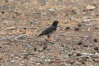 夏鳥遠征その2《クロツグミ》 - Granpa ToshiのEOS的写真生活