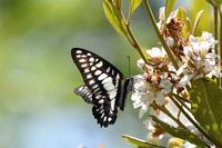和歌山ミカドアゲハ - 蝶と自然の物語