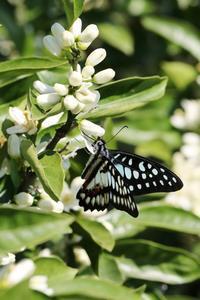ミカドアゲハを追って - 蝶超天国