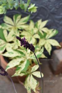 ラベンダー・シックパープルとリグラリア - 小さな庭 2