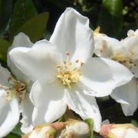 #果実 #種子 『車輪梅』 Rhaphiolepis indica var. umbellata - 自然感察 *nature feeling*