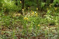 黄色い花☆薬草園 - さんじゃらっと☆blog2