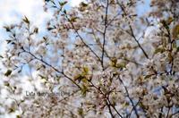 遅咲きのさくら - ハーブガーデン便り