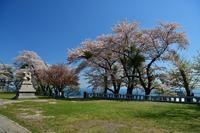 おたる桜巡り2019.....水天宮2 - slow life-annex