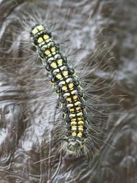 キアシドクガの幼虫 Ivela auripes - 写ればおっけー。コンデジで虫写真