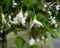 エゴノキとハクウンボク - hebdo時季(とき)の花