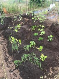今日の菜園はこんな感じ - 手作りのある暮らし2
