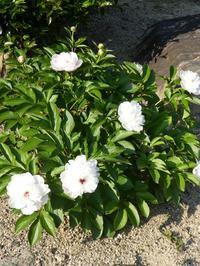 シャクヤク(八重)が咲いています。 - ミモザアカシアの日々