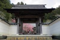 桜巡り2019@京北大聖院 - デジタルな鍛冶屋の写真歩記