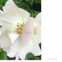 雨降りのバラ - mypotteaセンチメンタルな日々with photos5