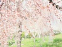 圧倒的桜。平成FINAL - 瞳の記憶