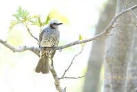 ヒヨドリ - 北の野鳥たち
