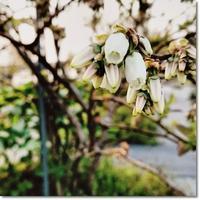 ブルーベリーの花とスズランに似た花 - 十色記