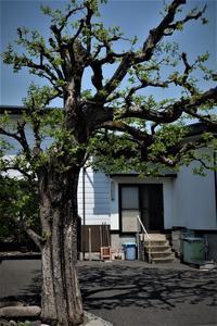 黒柿と芭蕉の木 - SOLiD「無垢材セレクトカタログ」/ 材木店・製材所 新発田屋(シバタヤ)