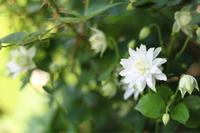 つきいろさんのオダマキ - my small garden~sugar plum~