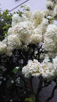 雨に濡れたアジサイ - SachikoSongシンガーソングライターSachiko(アベサチコ)のブログ