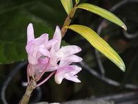セッコクの開花 - しらこばとWeblog